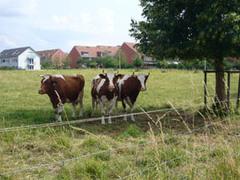 20070613_cows