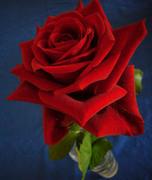 20080116_rose_2
