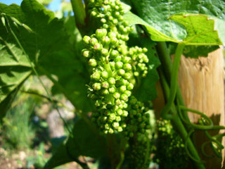 20080612_grape