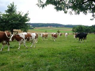 20080712_cows
