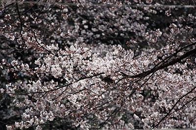 Sakura_matsuri_5