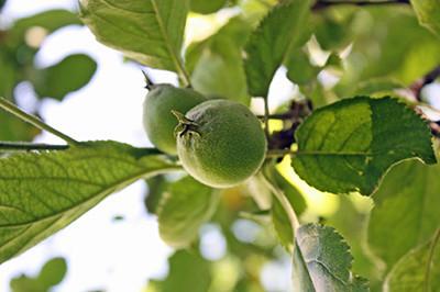 Apfel_2